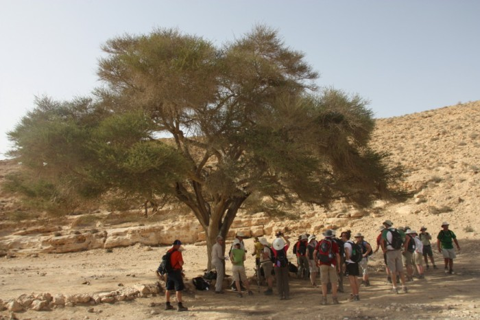 An acacia tree in Judea. Photo by Anja Noordam.