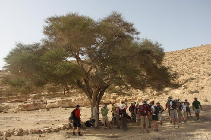 An acacia tree in Judea. Photo by Anja Noordam.
