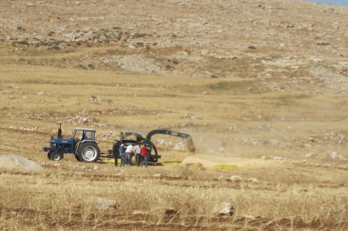 A community threshing wheat in Israel, June 2014. Photo by Olga Shaffer