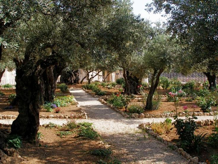 Olives trees near Gethsemane. Photo by Seetheholyland.net